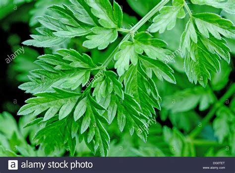 Wild Chervil Anthriscus sylvestris, Cow Parsley Leaves